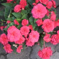 Begonia koloru maliny