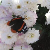 Jesienny motylek