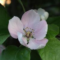 Kwiat pigwy