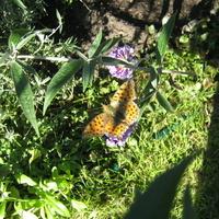 Motylek na budleji...