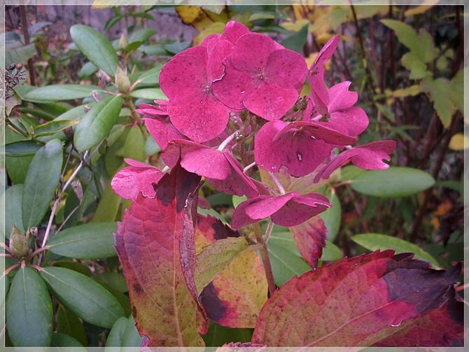 Jesienna hortensja...