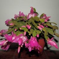 Grudnik (zygokaktus, szlumbergera)