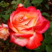 Róża  MACGOOFY  . Makro.