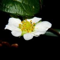 Kwiat Truskawki:)