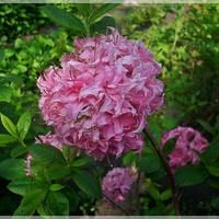 Azalia różowa...