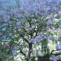 Drzewo w błękitnej szacie :)