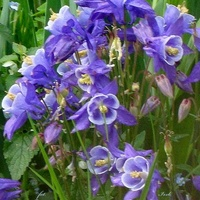 Kwiaty orliki