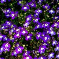 Niebieskie kwiatki jak gwiazdki na niebie