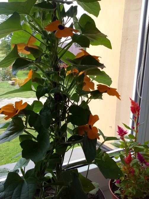 Tunbergia pnąca.piękna .idealna do wiszących donic