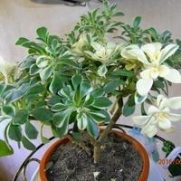 Aichryson Domesticum Variegatum