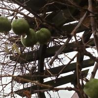 Aktinidia, kiwi zielone, lub agrest chiński.