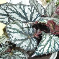 Begonia ....
