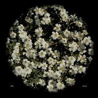 Białe kwiatki...