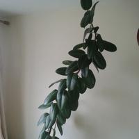 Figowiec sprężysty (Ficus elastica)