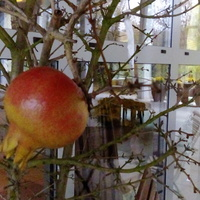 Granat owocujący w uprawie kubłowej.
