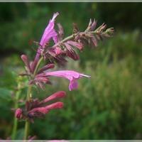 Kłosowiec różowy...