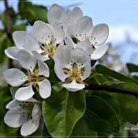 Kwiat gruszy ...