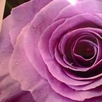 roza wielkokwiatowa