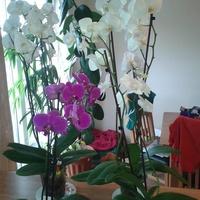 storczyki phalaenopsis
