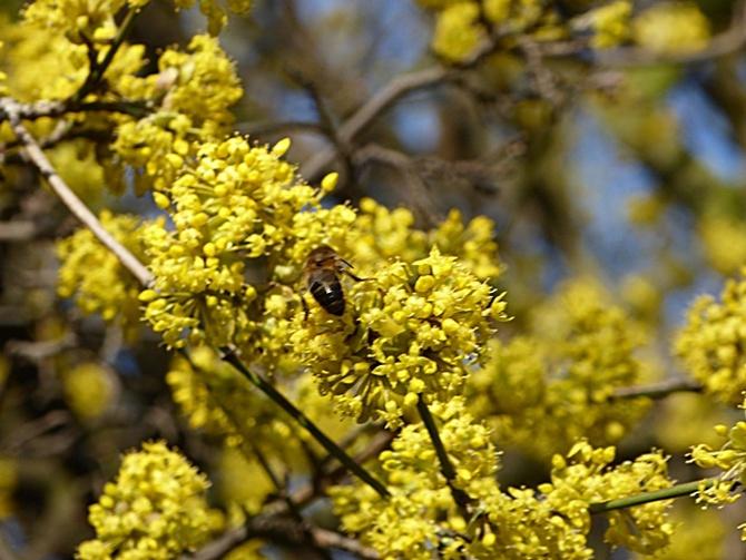 Dereń i pszczółka.