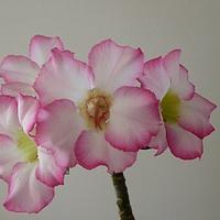 Adenium pierwsze kwitnienie.