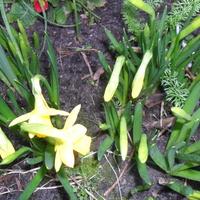 Malenkie Narcyzy tez  czuja wiosne