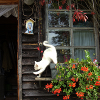 Pnące, czerwone pelargonie i biały kot
