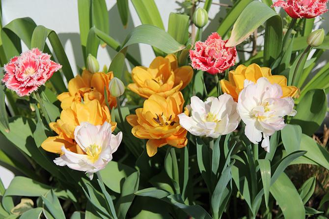 Balkonowe tulipany (2017)