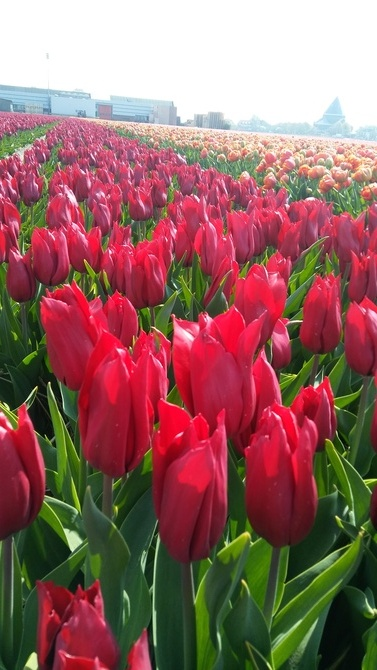Tulipany........