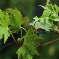 Bluszczowa zieleń