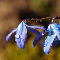Cebulica syberyjska :)