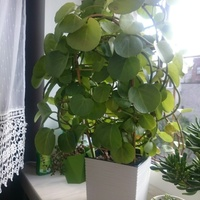 Cissus cukrowy rotundifolia