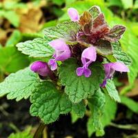 Dzikie kwiatki jasnoty