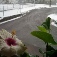 Hibiskus Boreas White