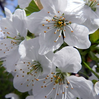 Kwitną drzewa owocowe-czereśnia