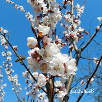 Kwitną drzewa owocowe-morela