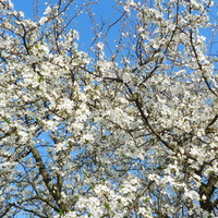 Kwitną drzewa owocowe-śliwa mirabelka