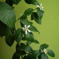 Kwitnąca Cytryna