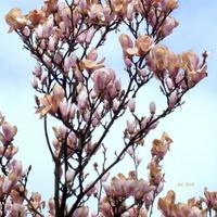 Magnolia przemarznięta .