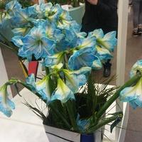 Niebieskie amarylisy.....