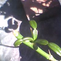 nowe liście rosną
