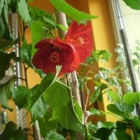 Pierwsze kwiaty bordowo czerwonego klonika.