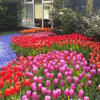 Super kombinacje tulipanow