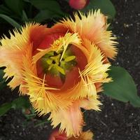 Tulipan Lambada  Moje jeszcze śpią w pąkach