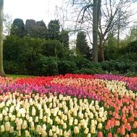 Tulipany..........