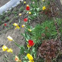 Tulipy ze spaceru