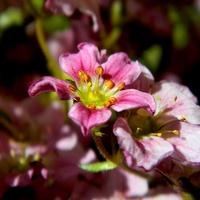 Wiosenny róż:)