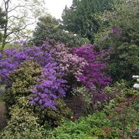 Wśród kwitnących rododendronów