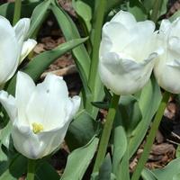 Białe tulipany do poduszki na lepsze sny