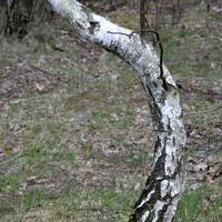 brzoza w lesie